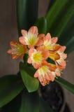 Цвести натальный или лилия 2 куста (miniata Clivia) Стоковые Фотографии RF