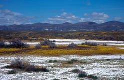 Цвести на равнине Калифорния Carrizo стоковые фотографии rf
