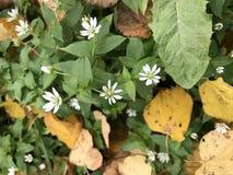 Цвести осени Малые цветки белого цвета растут среди упаденных листьев осени Стоковые Изображения RF