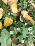 Цвести осени Малые цветки белого цвета растут среди упаденных листьев осени Стоковые Фото