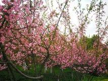 цвести рака яблока китайский стоковое фото