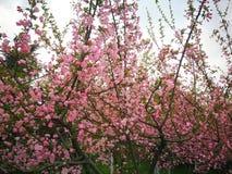 цвести рака яблока китайский стоковая фотография