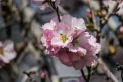 Цвести розовые и белые миндальные деревья над голубым небом Стоковая Фотография