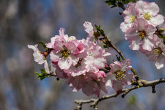 Цвести розовые и белые миндальные деревья с малой пчелой Стоковая Фотография RF
