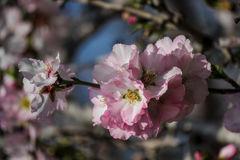 Цвести розовые и белые миндальные деревья Стоковое фото RF