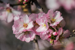 Цвести розовые и белые миндальные деревья Стоковая Фотография RF
