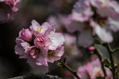 Цвести розовые и белые миндальные деревья Стоковая Фотография