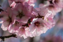 Цвести розовые и белые миндальные деревья Стоковое Изображение