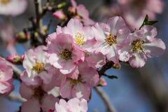 Цвести розовые и белые миндальные деревья Стоковые Изображения