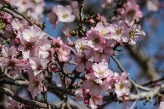 Цвести розовые и белые миндальные деревья Стоковые Изображения RF