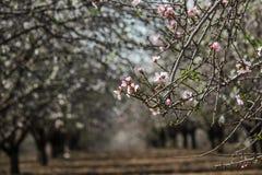 Цвести розовые и белые строки миндалины деревьев Стоковое Изображение