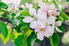 Цвести сад в солнечном весеннем дне, цветки яблони будить природу стоковые изображения rf