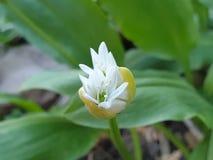цвести свежее: вкусный дикий чеснок стоковые изображения rf