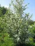 Цвести семья Adoxaceae Nigra Sambucus Старейшина или Elderberry или черное цветковое растение старейшины или европейских старейши стоковые изображения