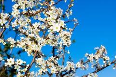 Цвести слива против голубого неба стоковое фото