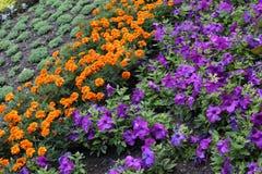 Цвести цветки петуньи и ноготк в строки Справочная информация стоковые изображения rf