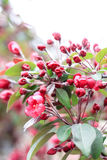 Цвести цветков розовой Сакуры Стоковое Фото