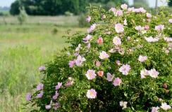 Цвести canina Розы куста стоковые изображения rf