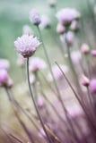 цвести chives Стоковое Фото