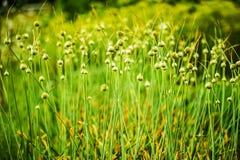 цвести chives Стоковые Фотографии RF