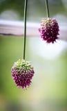 цвести chives Стоковое Изображение RF