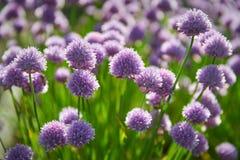 цвести chives Стоковая Фотография RF