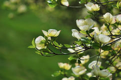 цвести florida dogwood cornus восточный Стоковые Изображения