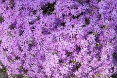 Цвести subulata флокса carpen в саде весеннего времени, цветках проползать фиолетовых розовых в цветени стоковые изображения
