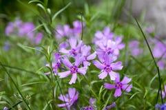 Цвести subulata флокса carpen в саде весеннего времени, цветках проползать фиолетовых розовых в цветени стоковое фото rf