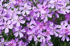 Цвести subulata флокса carpen в саде весеннего времени, цветках проползать фиолетовых розовых в цветени стоковые фотографии rf