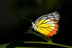 Цветастая бабочка Стоковые Фотографии RF