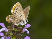 Цветастая бабочка Стоковая Фотография