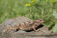 Цветастая жаба Аризоны Horned Стоковая Фотография RF