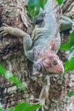 Цветастая игуана Стоковое Фото