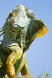 цветастая игуана Стоковое Изображение