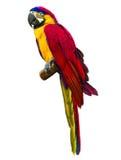 Цветастая красная ара попыгая Стоковые Фото