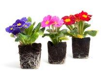 цветастая почва primula сада цветка Стоковая Фотография