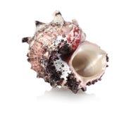 цветастая раковина моря Стоковое Изображение
