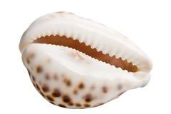 цветастая раковина моря Стоковая Фотография