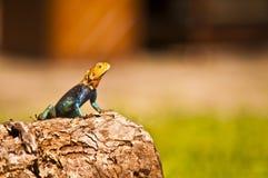 Цветастая ящерица Стоковая Фотография