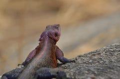 цветастая ящерица Стоковые Фотографии RF