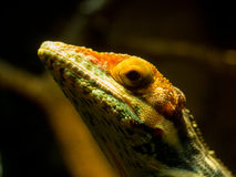 цветастая ящерица Стоковое Изображение RF