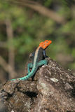 цветастая ящерица Стоковая Фотография RF