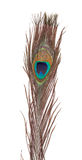 Цветастое перо павлина Стоковые Фото