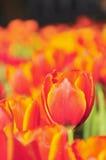Цветастое поле тюльпанов цветков Стоковые Фотографии RF