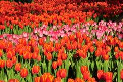 Цветастое поле тюльпанов цветков Стоковое Изображение
