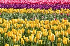 Цветастое поле тюльпана Стоковое фото RF