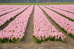 цветастые гиацинты поля Стоковая Фотография RF