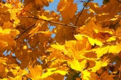 Цветастые листья в осеннем солнечном свете Стоковая Фотография RF