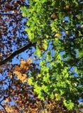Цветастые листья осени на дереве. Предпосылка осени. Стоковая Фотография